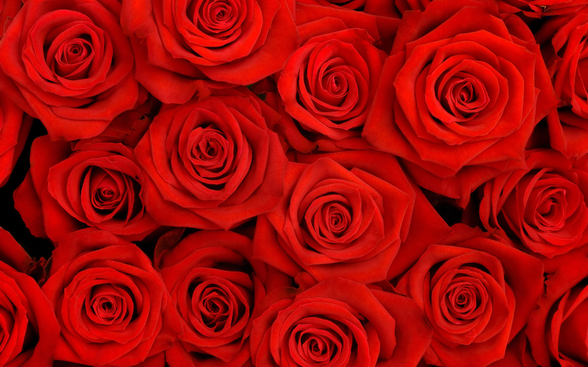 Flower Wallpapers Red Rose Desktop Wallpaper 33186